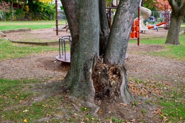 Silver maple with decay at base